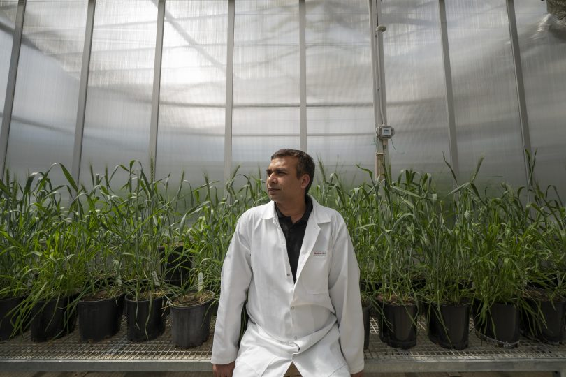 Canberra scientists develop drought-proof wheat crops | About Regional